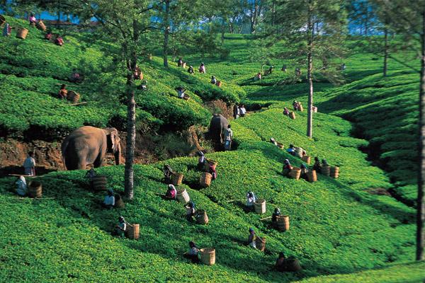 Tefält i Sri Lanka