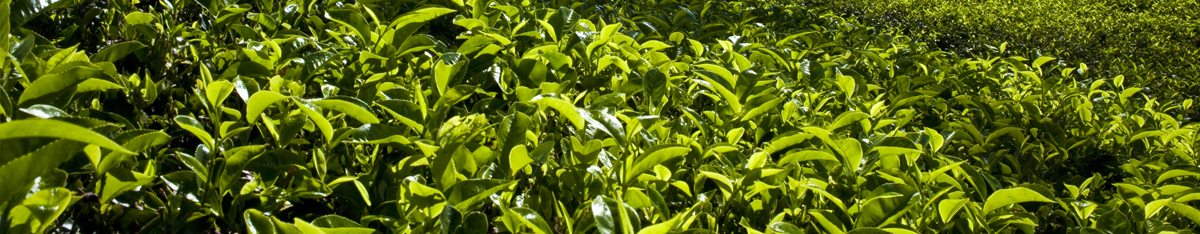 Dilmah Teafields